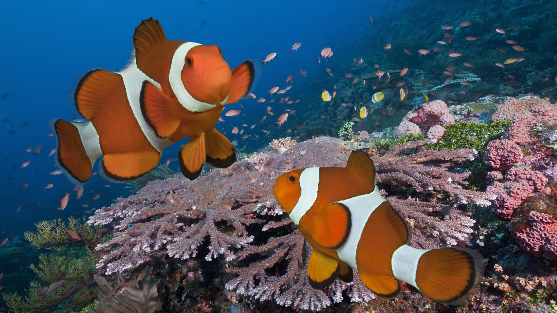 Iphone 5 Clown Fish Wallpaper Pez Fondos De Pantalla Fondos De Escritorio 1920x1080