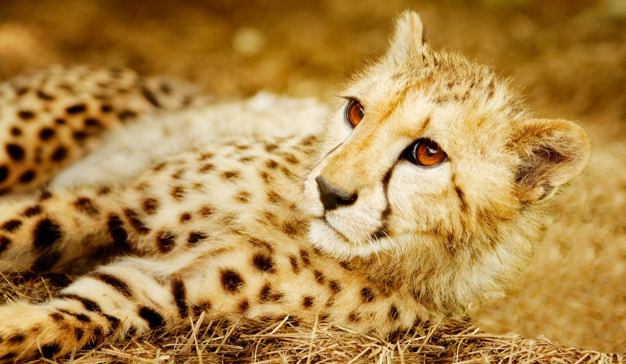 Cute Cheetah Wallpapers Cheetah Full Hd Wallpaper And Background Image 2062x1200