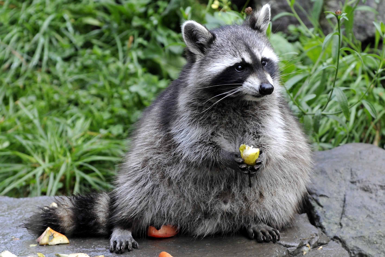 Cute Raccoon Wallpaper Raccoon Hd Wallpaper Background Image 2835x1890 Id