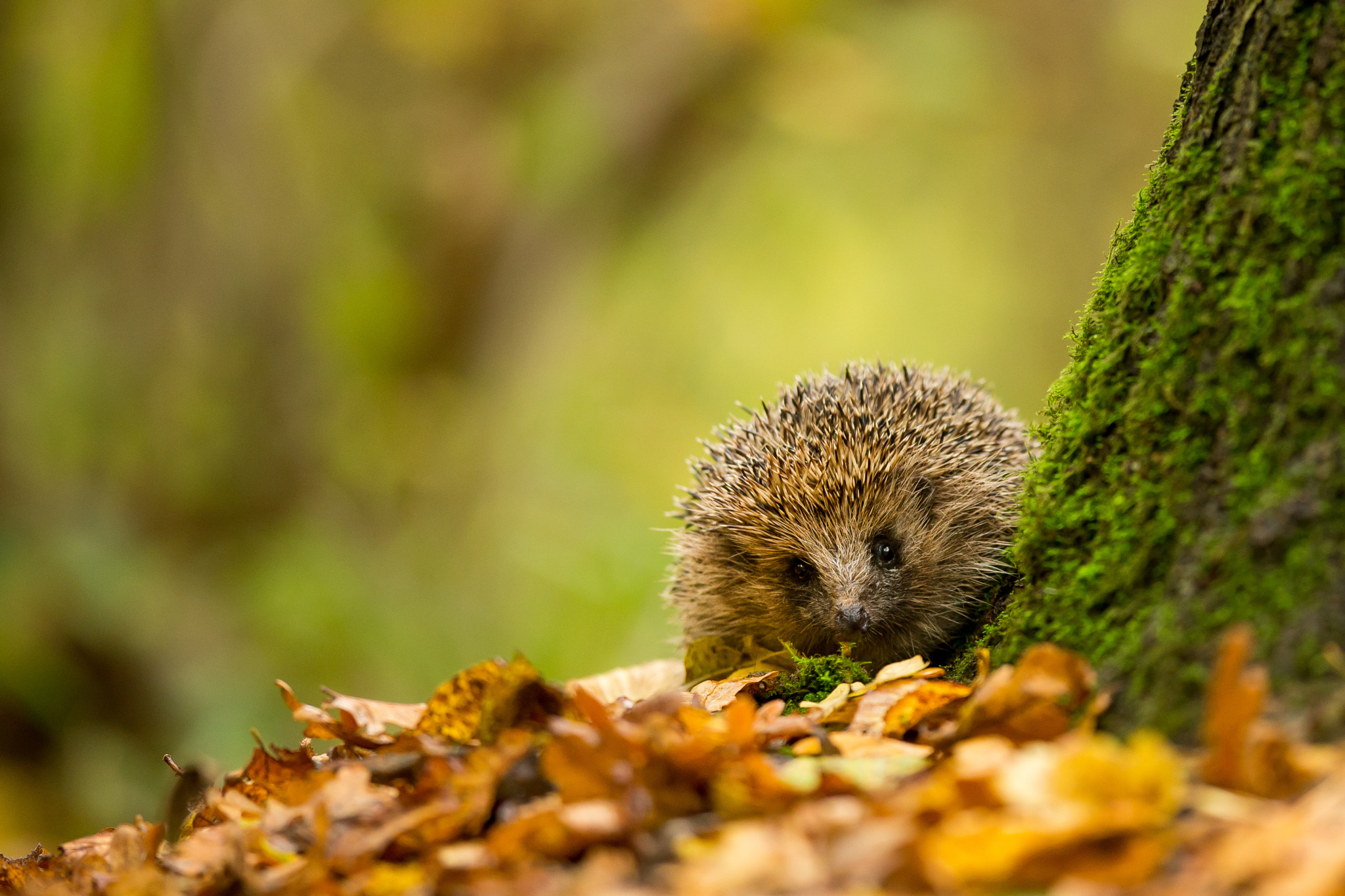 Fall Hedgehog Wallpaper H 233 Risson Full Hd Fond D 233 Cran And Arri 232 Re Plan 2048x1365