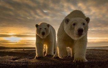 435 polar bear hd