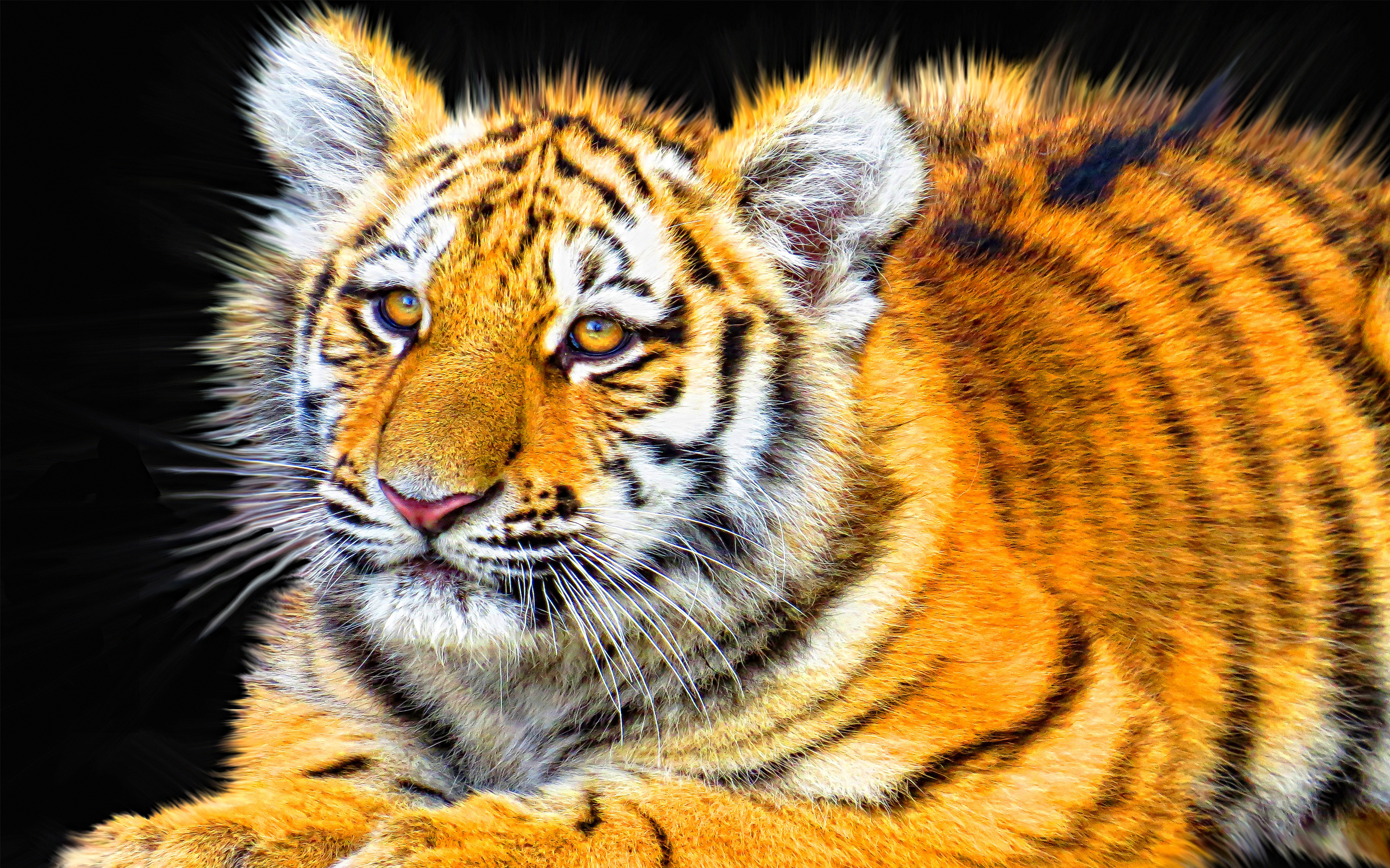 tiger cub relaxing full hd wallpaper and background | 2880x1800