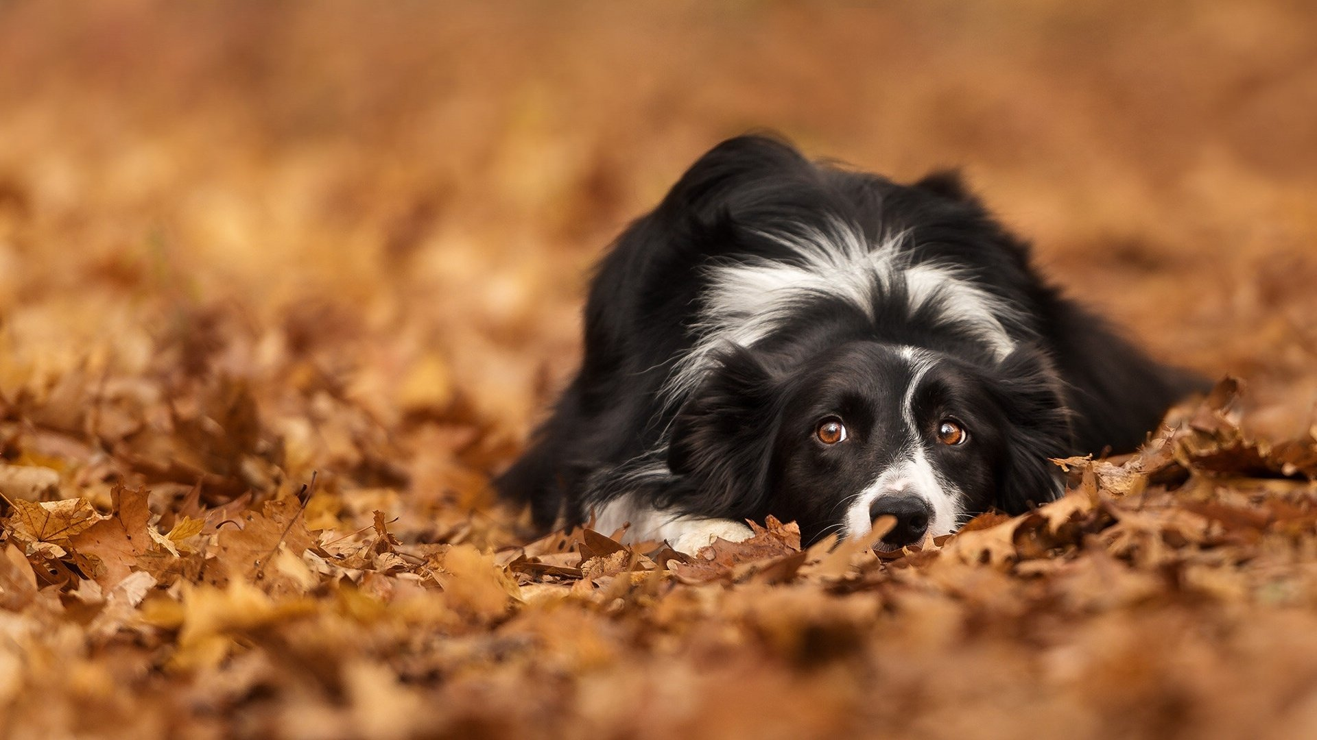 Fall Leaves Iphone 6 Plus Wallpaper Border Collie Hd Wallpaper Background Image 1920x1080