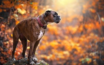 Fall Pug Wallpaper 23 Boxer Dog Hd Wallpapers Background Images