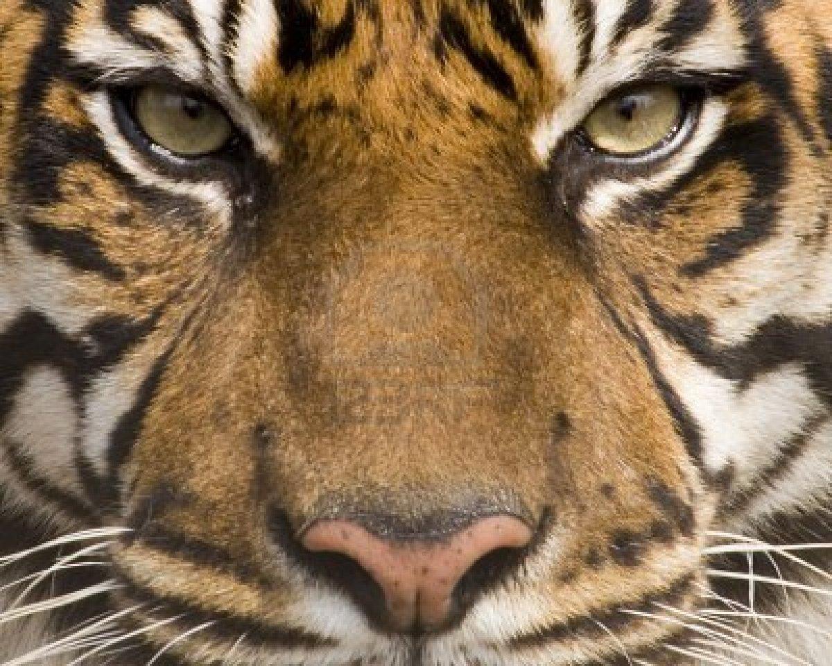 amur tiger face amur