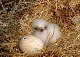 baby golden eagle golden