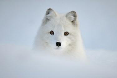 anime foxs rubah rubah fox fan Art 10976615 fanpop