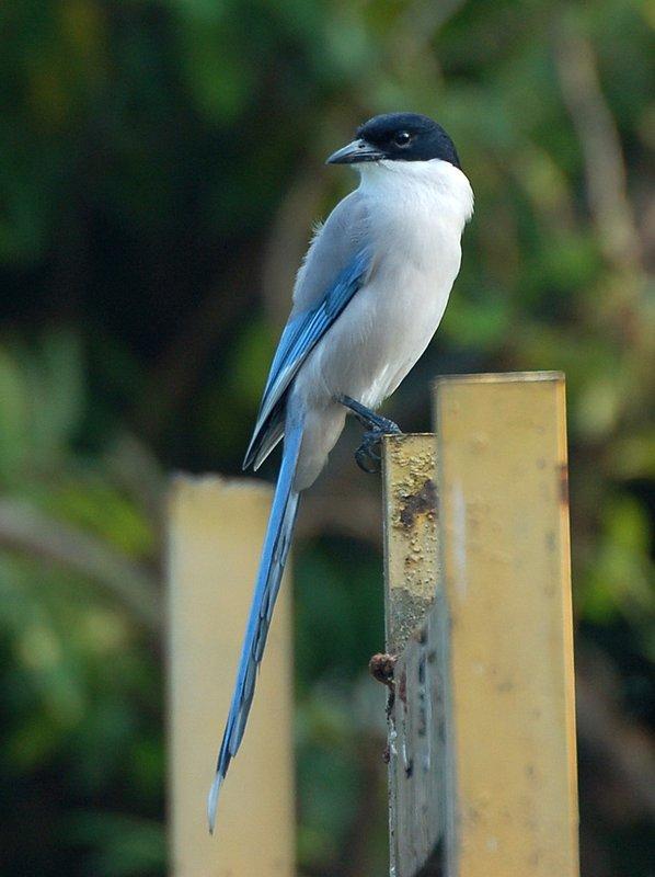 Azure-winged Magpie 灰喜鵲 - Crows 鴉 - Landbirds 陸鳥 - HKBWS Forum 香港觀鳥會討論區 - Powered by Discuz!