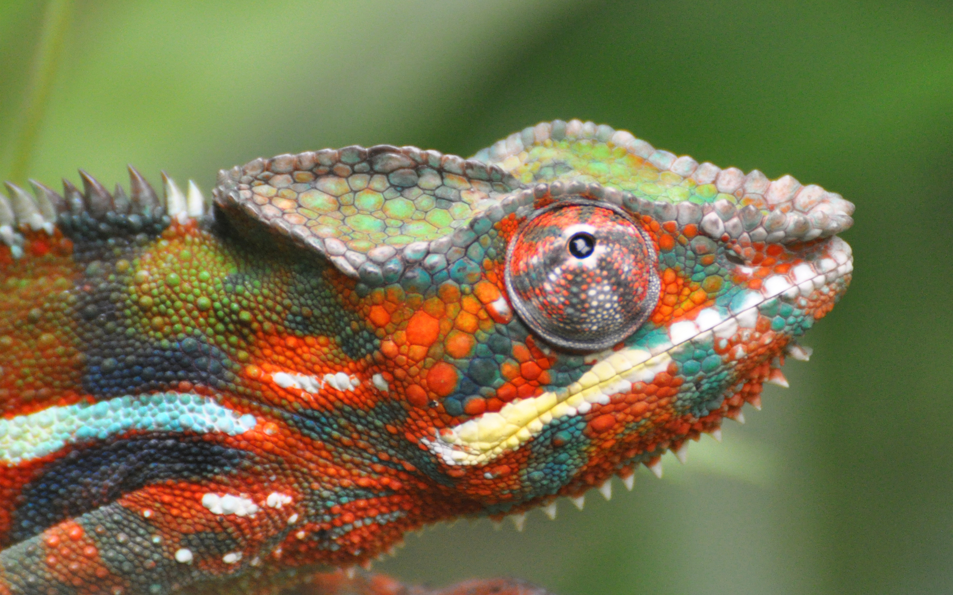 Cool Iphone X Wallpapers Live Chameleon Hd Wallpaper Background Image 1920x1200 Id