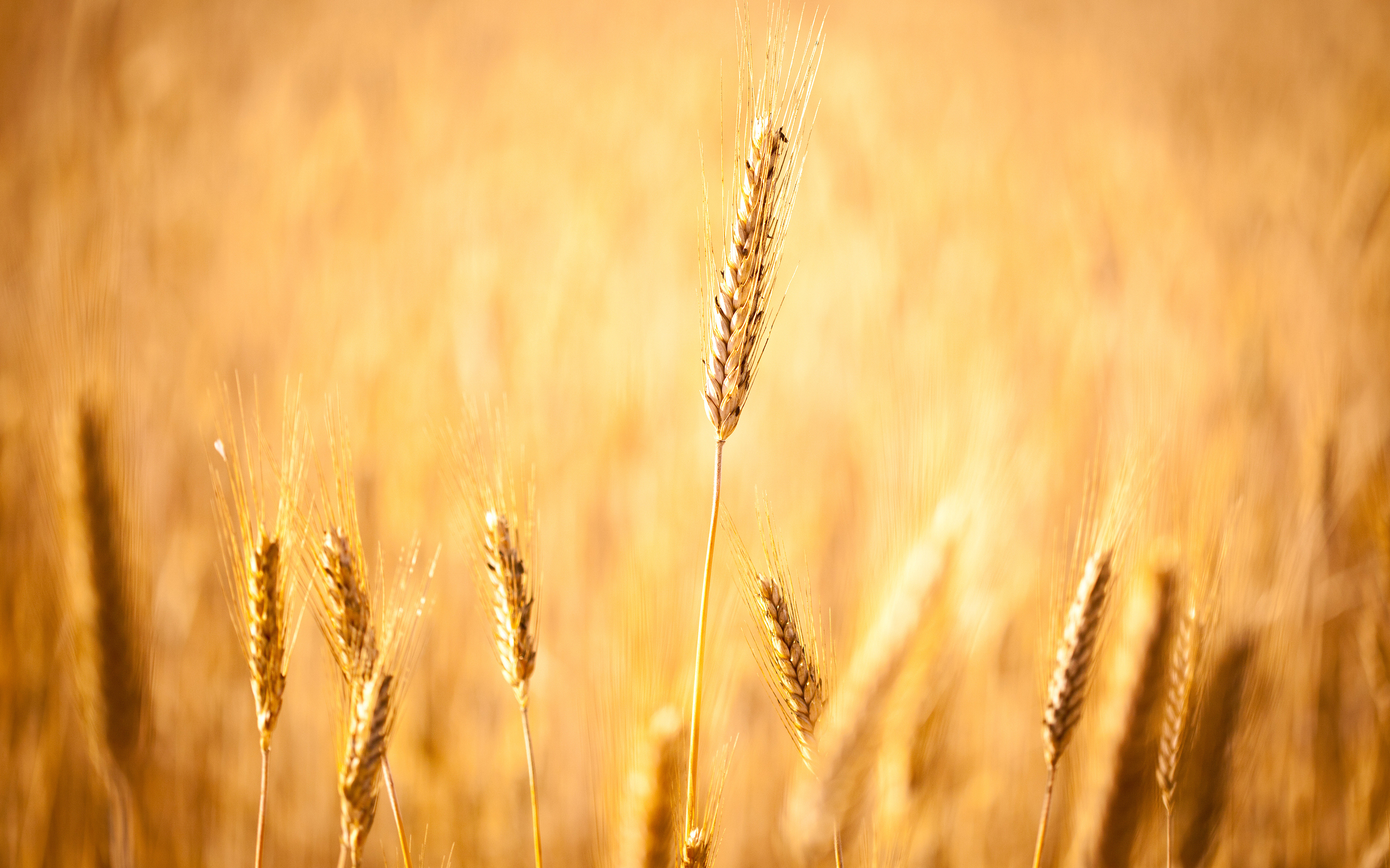 Autumn Iphone 6 Wallpaper Wheat Full Hd Wallpaper And Background Image 2560x1600