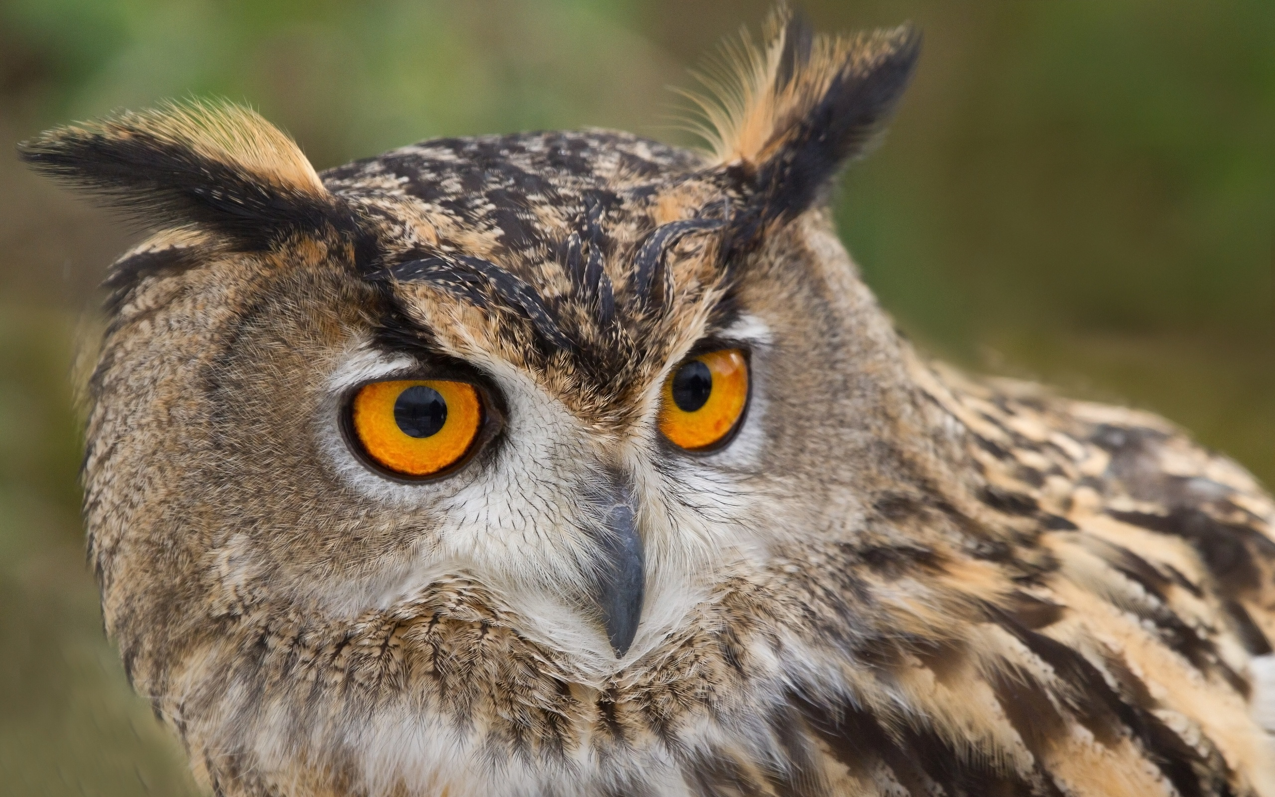 Marlboro Wallpaper Hd Great Horned Owl Full Hd Wallpaper And Background Image
