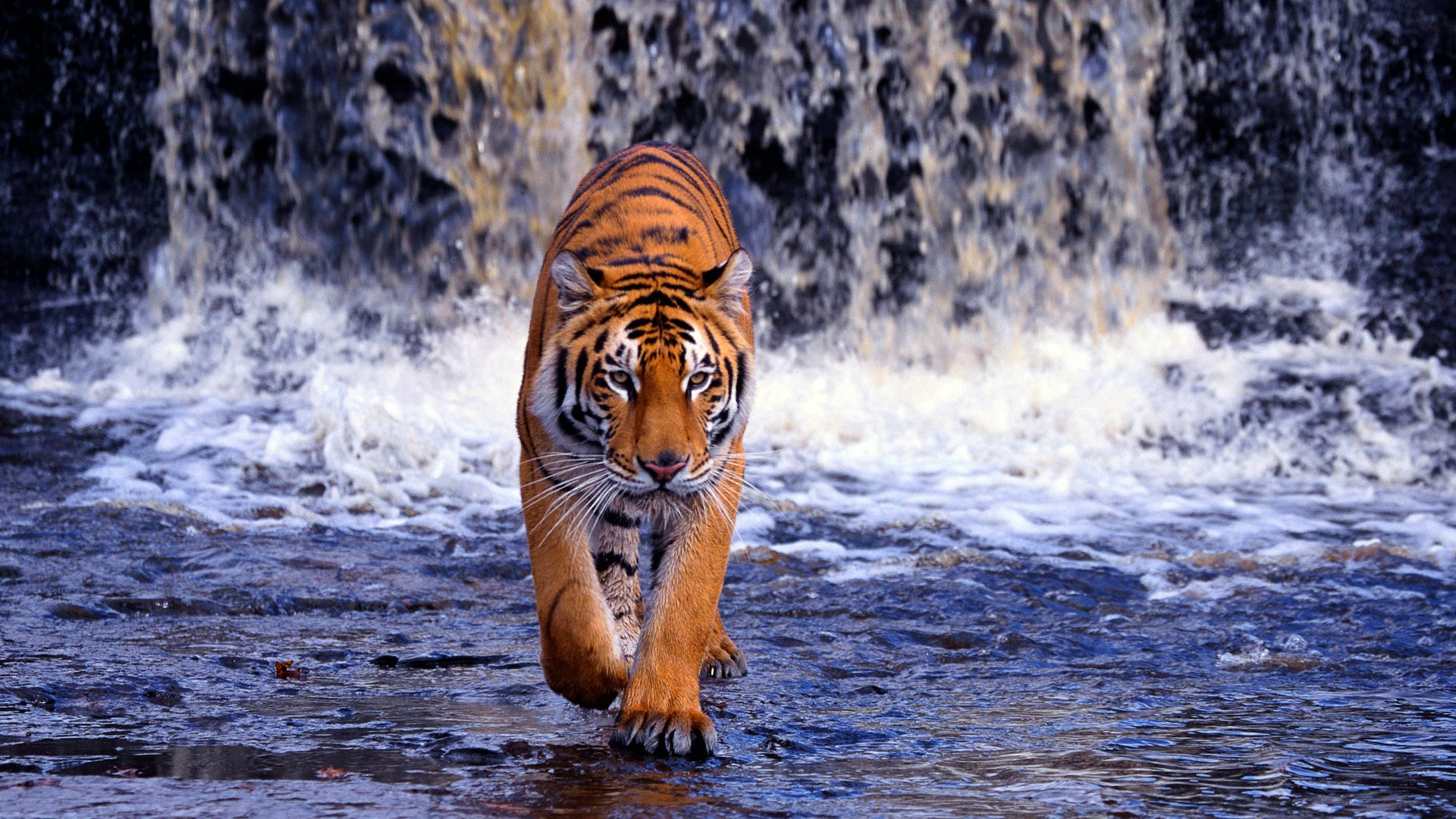 1283 tiger hd wallpapers | background images - wallpaper abyss