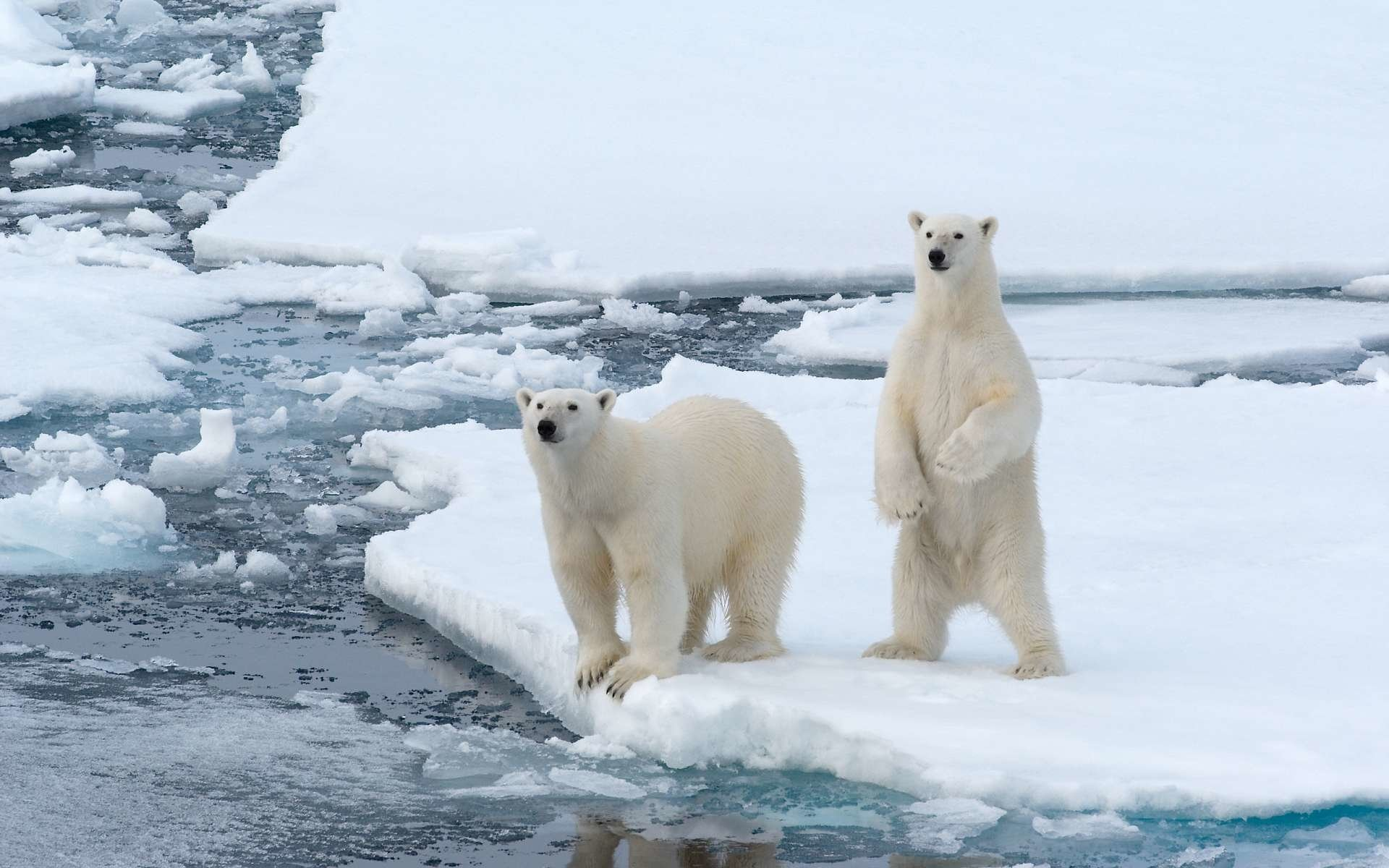 Couple Live Wallpaper Iphone X Polar Bear Hd Wallpaper Background Image 1920x1200
