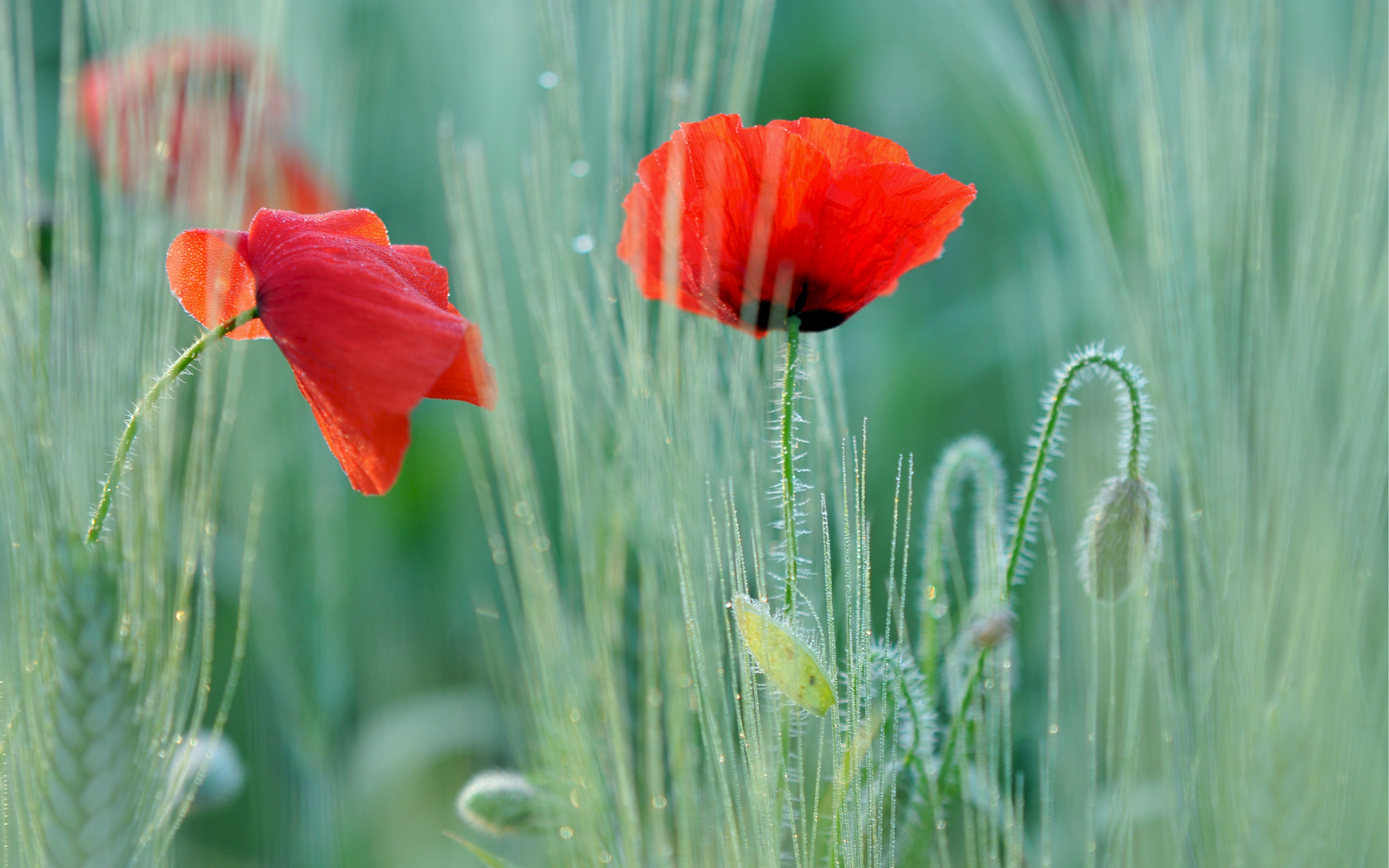 Poppy Wallpaper For Iphone Poppy Full Hd Wallpaper And Background Image 2560x1600
