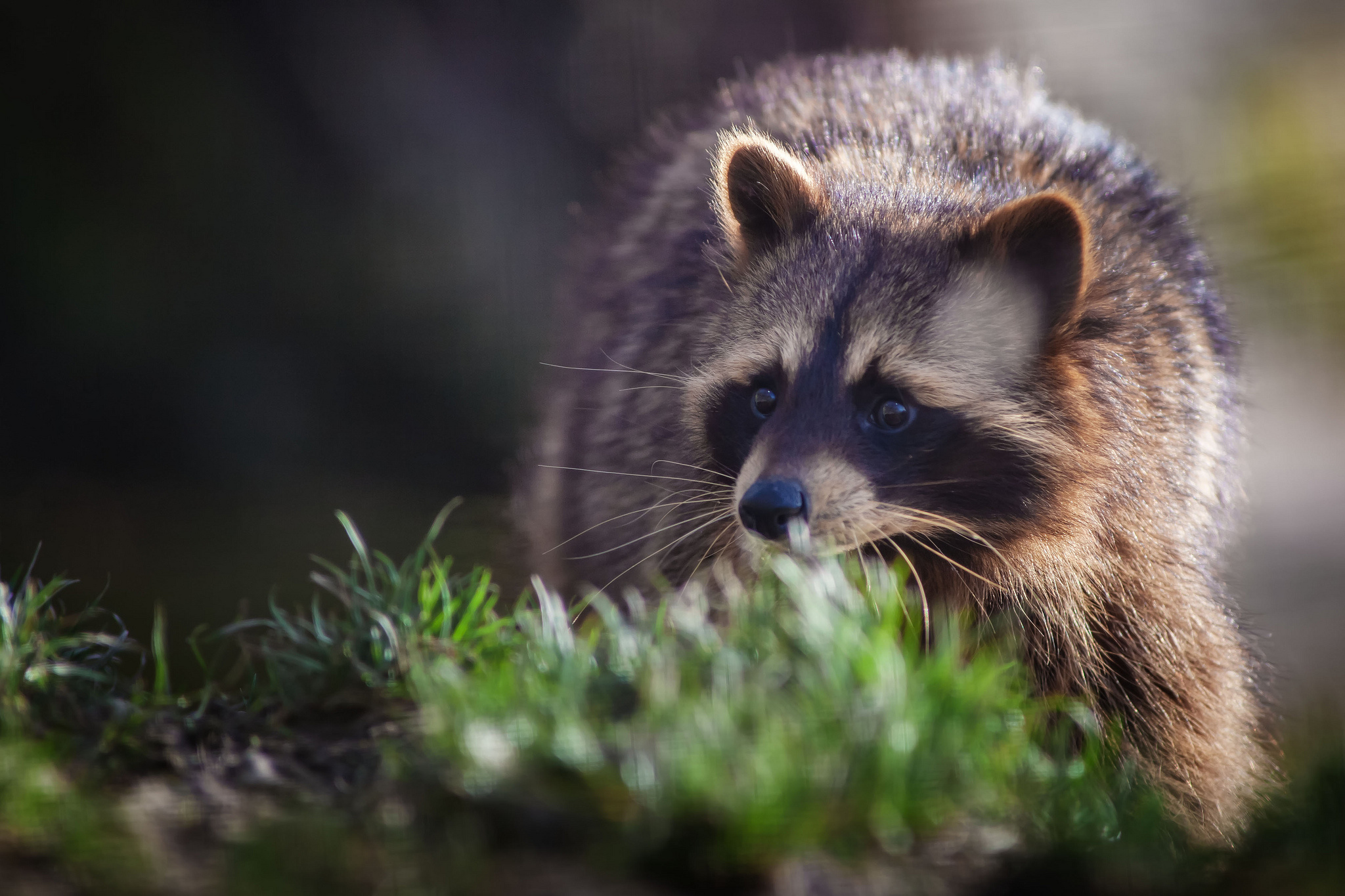 Cool Wallpapers For Fall Raccoon Hd Wallpaper Background Image 2048x1365 Id
