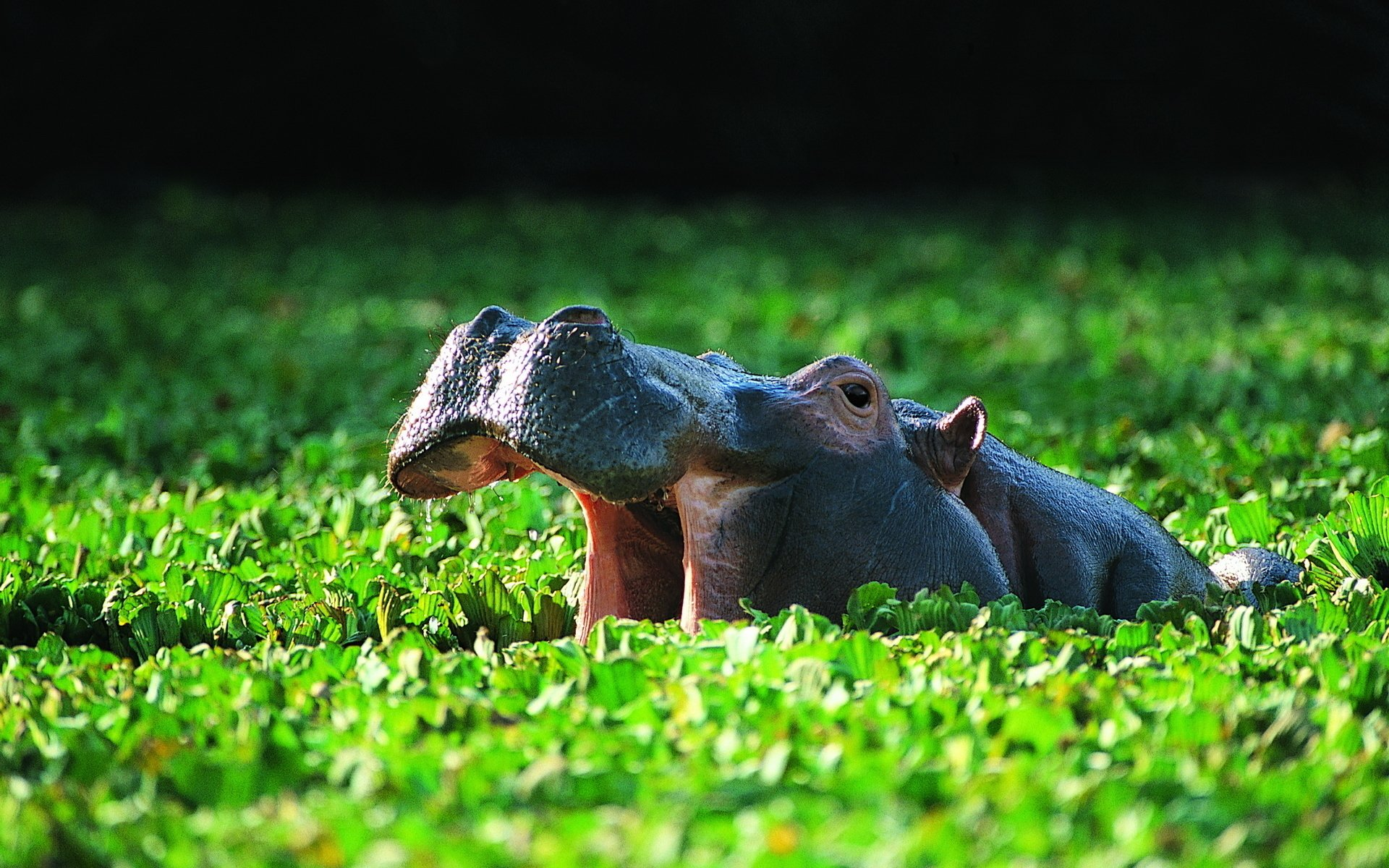 Cute Fat Baby Wallpapers Hippo Hd Wallpaper Background Image 1920x1200 Id