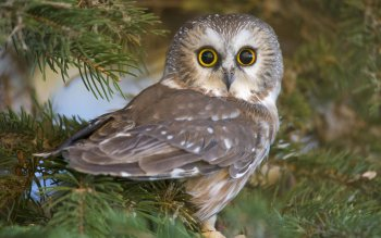 966 Owl Hd Wallpapers Background Images Wallpaper Abyss