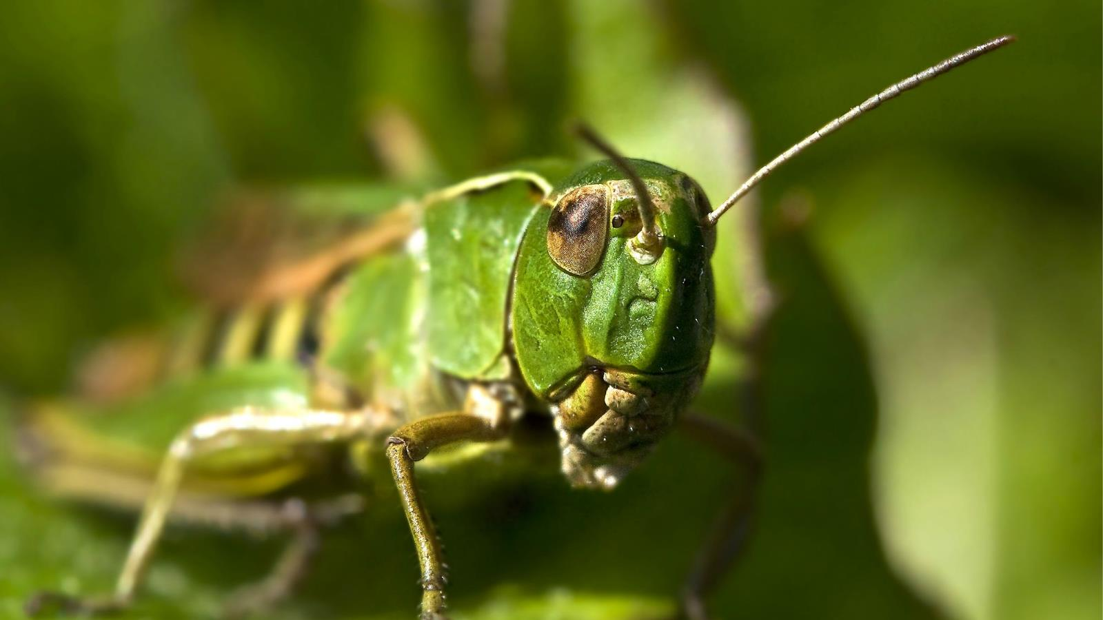 grasshopper wallpaper and background | 1600x900 | id:425173
