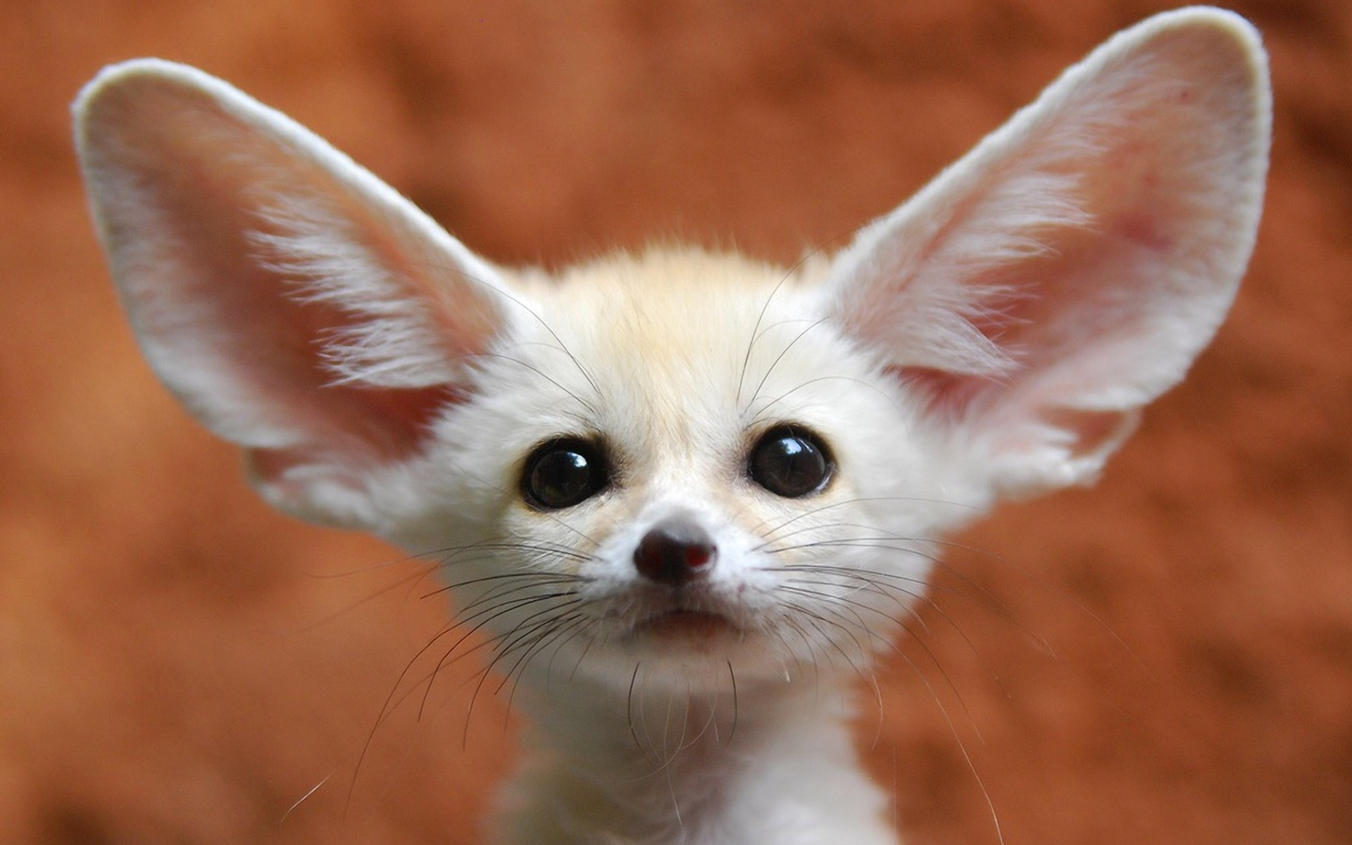 38 Fennec Fox Hd Wallpapers Backgrounds