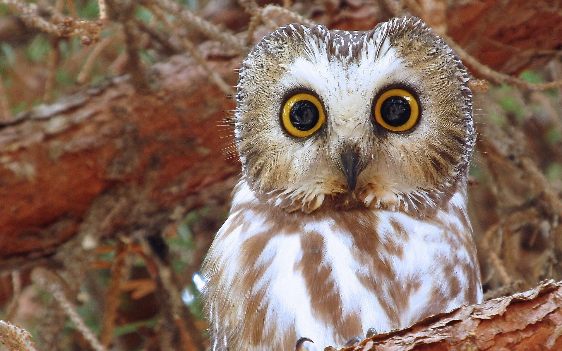 Owl Full HD Wallpaper And Background Image 1920x1200