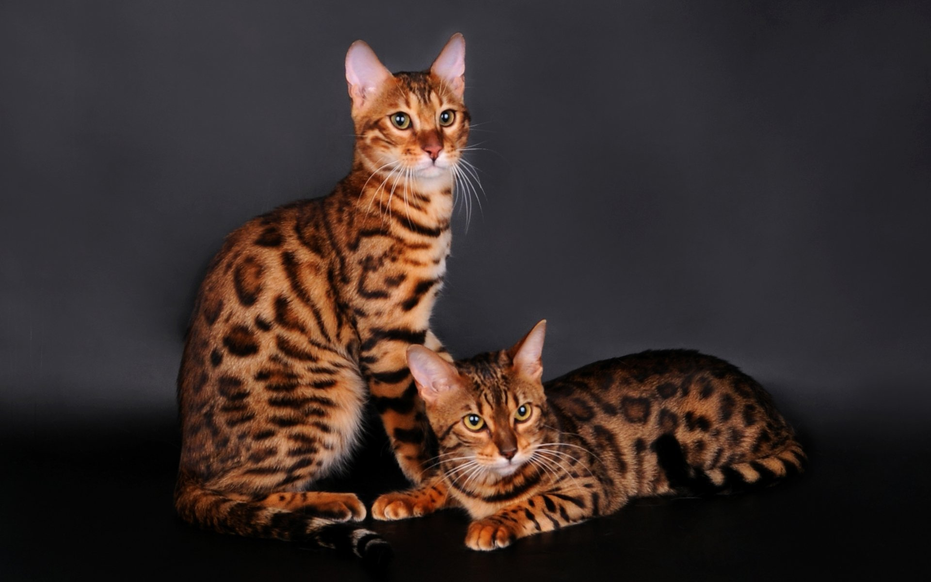 Cute Baby Couple Wallpapers For Mobile Bengal Cat 4k Ultra Hd Wallpaper Background Image