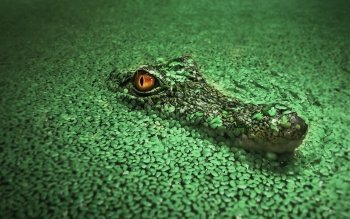 92 crocodile hd wallpapers