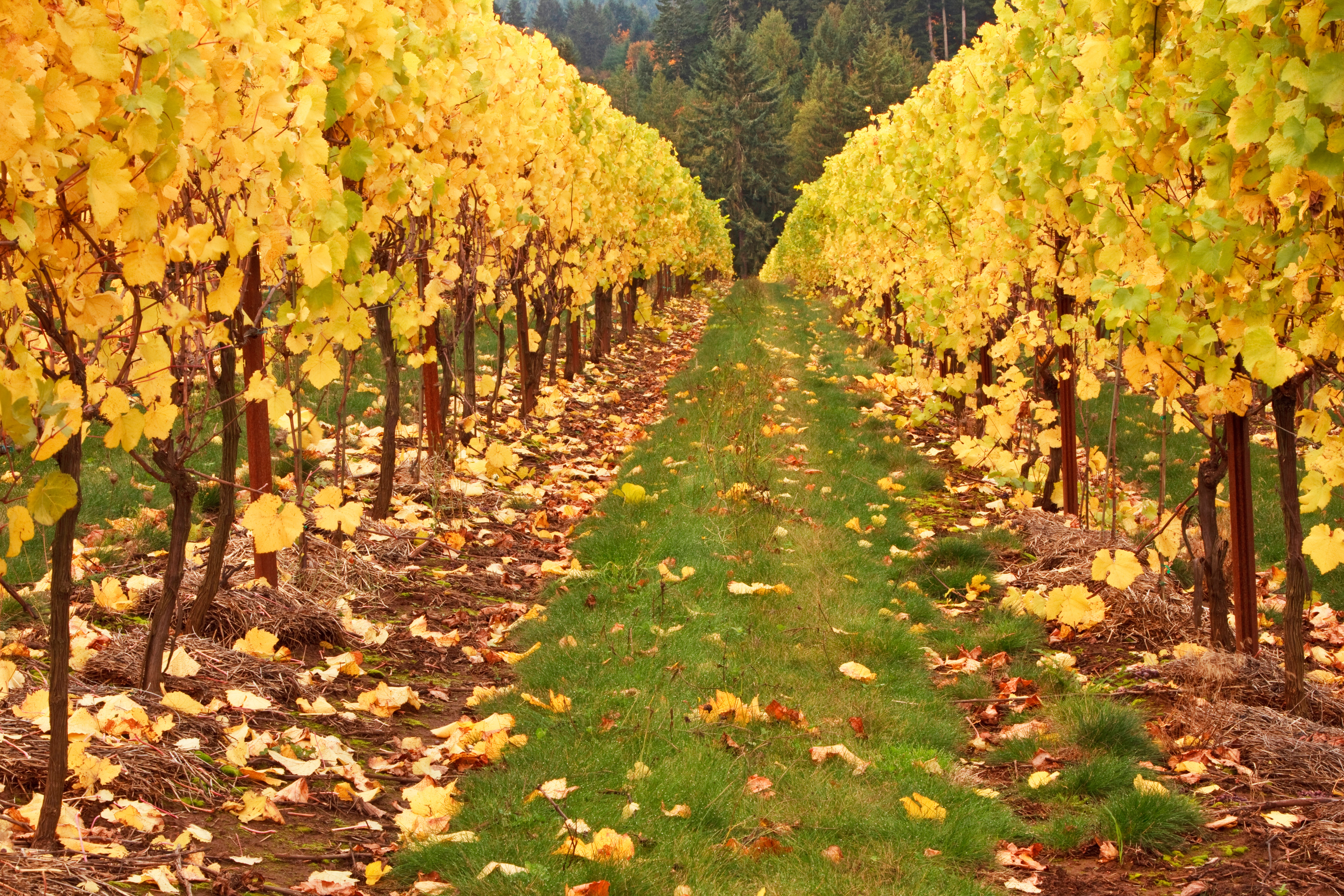 Iphone 6 Wallpaper Fall Leaves Vineyard 5k Retina Ultra Hd Wallpaper And Background Image