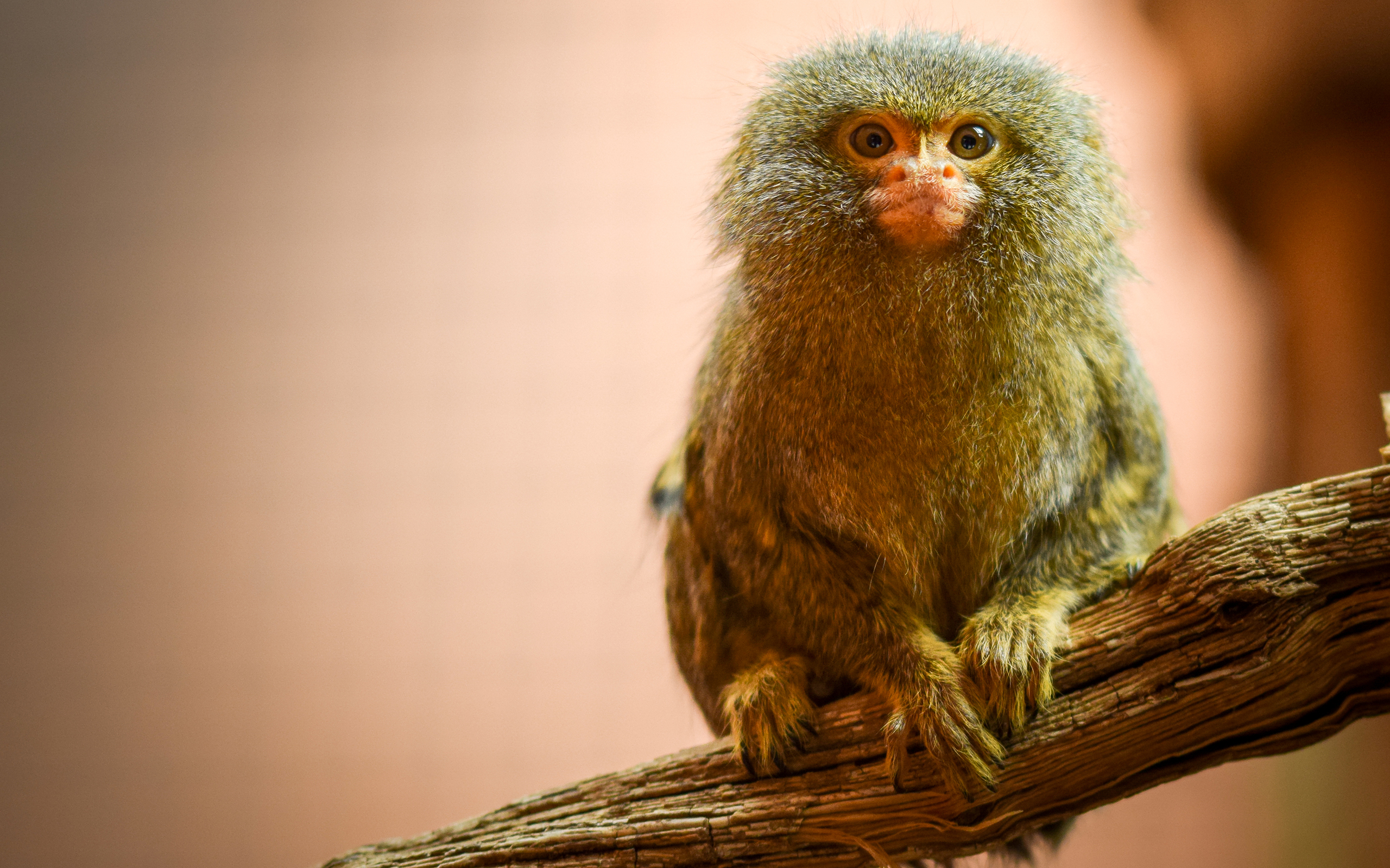 Cute Monkey Wallpapers For Mobile Pygmy Marmoset Hd Wallpaper Background Image 2560x1599