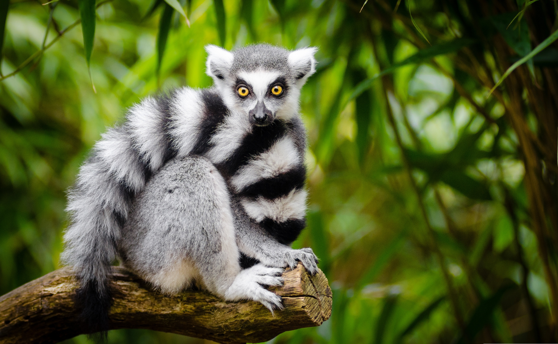 Lemur Hd Wallpaper