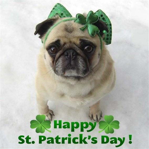 Saint Cute Puppy Hd Wallpaper Cute Pug St Patrick S Day Diva Animals Photo 33877696