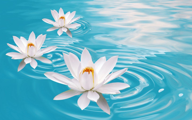 water lilies flowers wallpaper