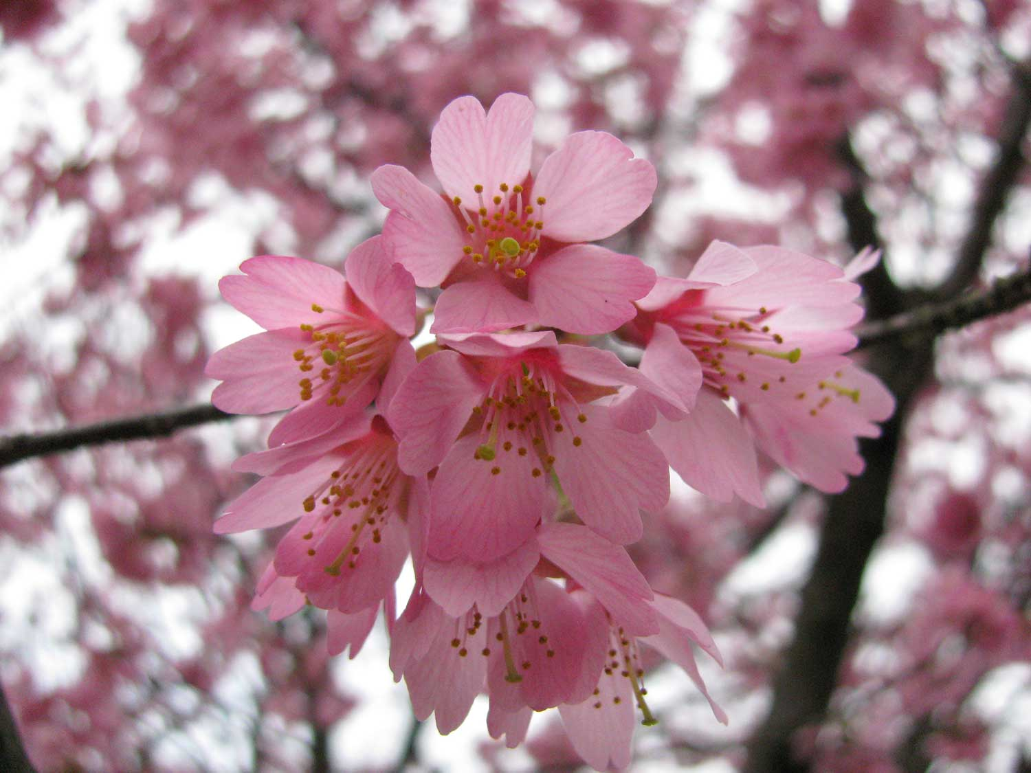 Sweet Cute Wallpapers For Laptop Beautiful Pink Cherry Blossom Wallpaper Colors Wallpaper