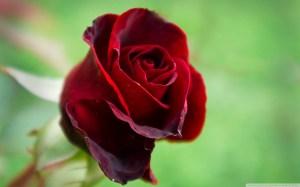 rose colors fanpop roses wallpapers desktop beauty lovely 1080 1920 stunning dark laptop bouquet valentine garden