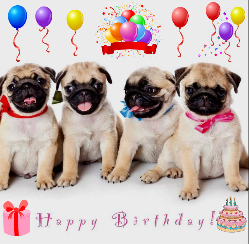 Funny Pugs Images Birthday Pug HD Wallpaper And Background