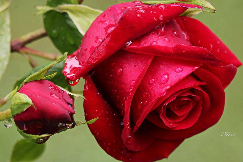 rained red rose flowers