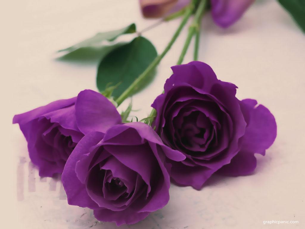 purple rose purple wallpaper