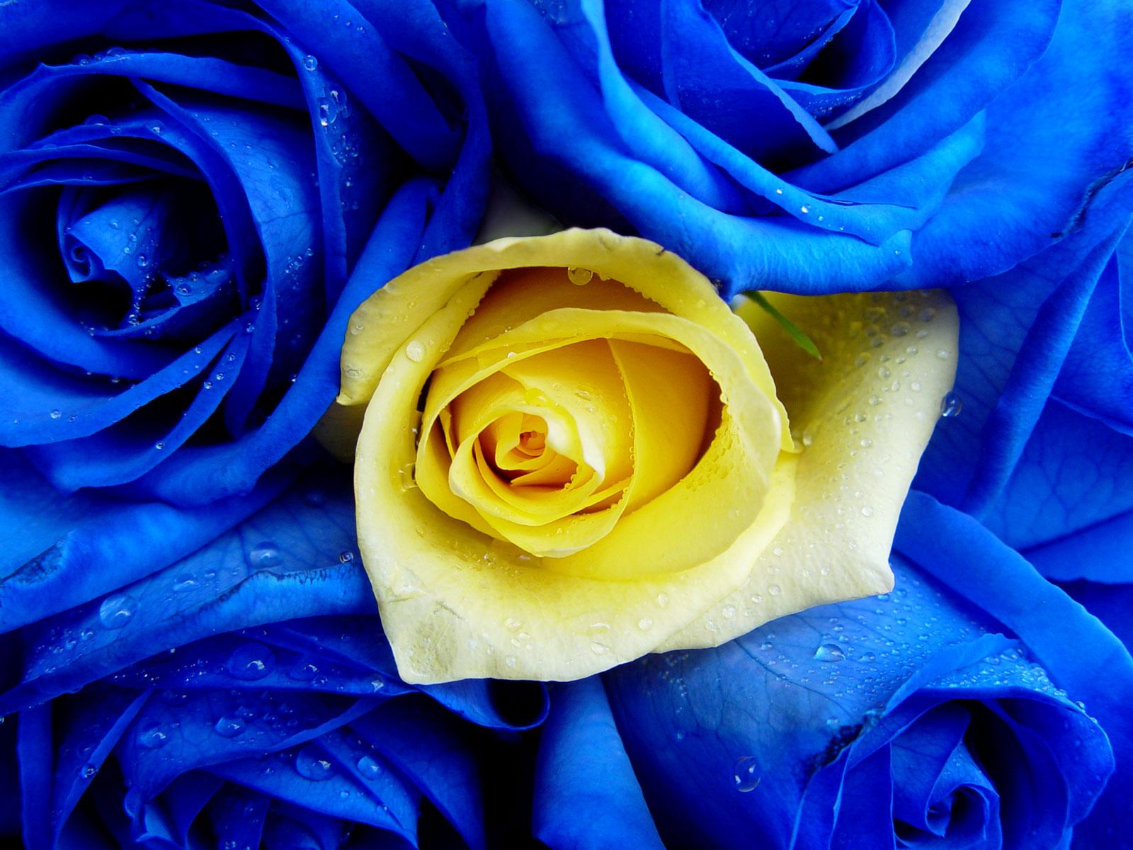 Www 3d Flower Wallpaper Com Roses Flowers Wallpaper 34758617 Fanpop