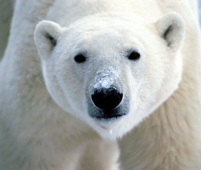 Polar Bears Images Cute Polar Bear  E  A Hd Wallpaper And Background Photos