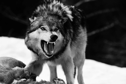 Image result for angry wolf