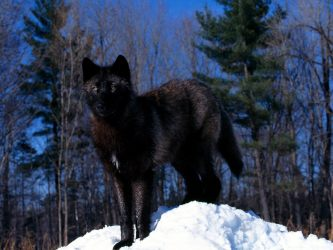 wolf wolves fanpop 1200 dark pretty animal wallpapers animals backgrounds darkness wild snow beauty cub handsome