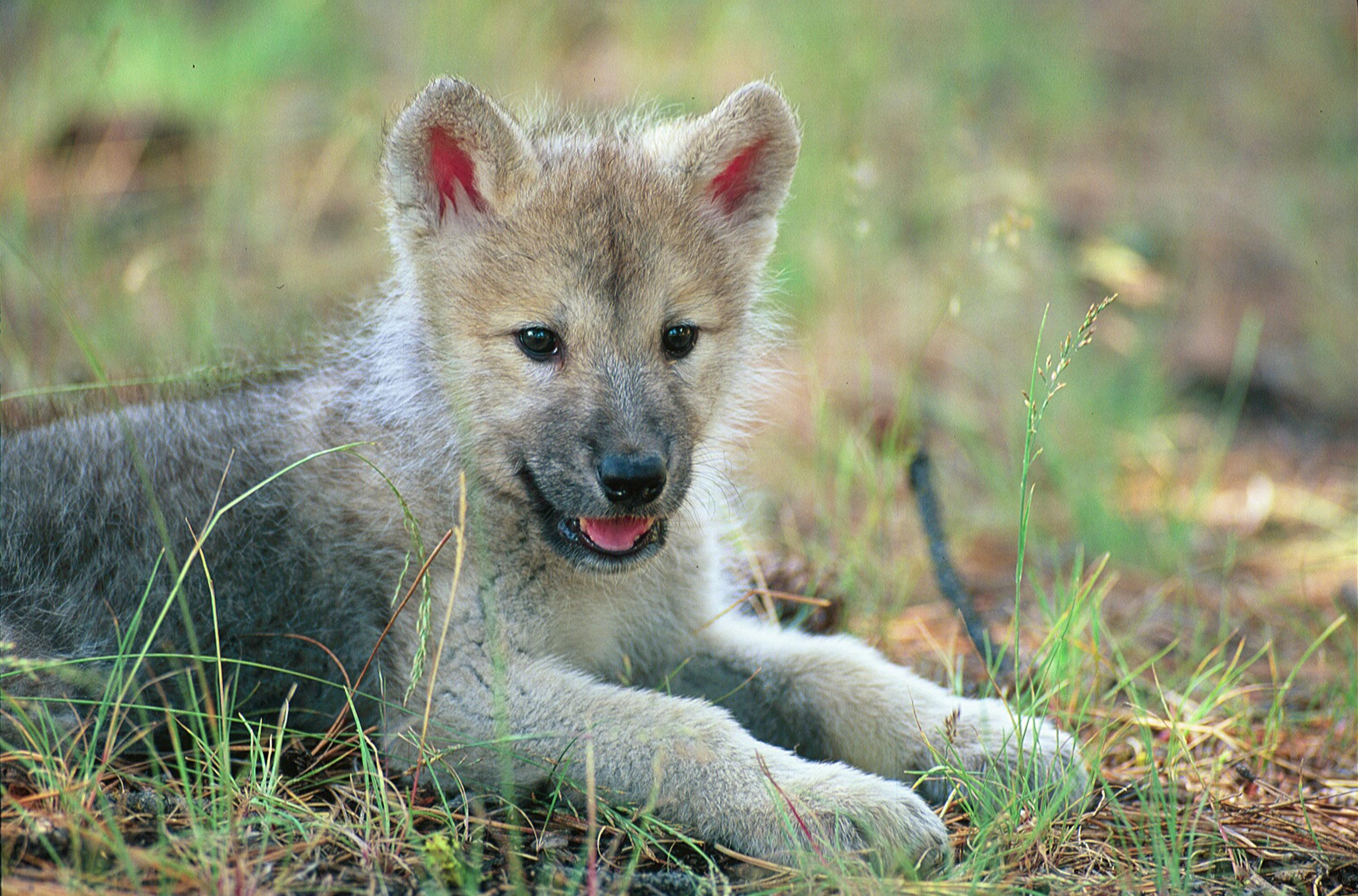 cute wolf pup in