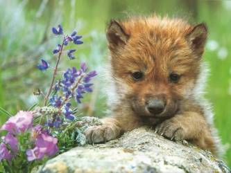 wolf cute pup wolves fanpop snow baby pups cutest puppy cub very babies 1024