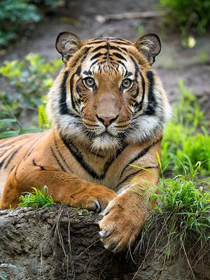 Cute Bengal Cats Wallpaper Elegant Tiger ♡ Tigers Photo 35204002 Fanpop