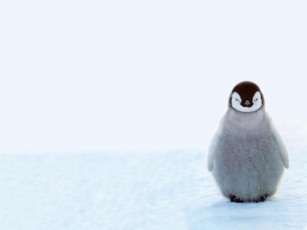 baby penguin penguins wallpaper