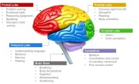 Science images Parts of Brain and Its Functions wallpaper ...
