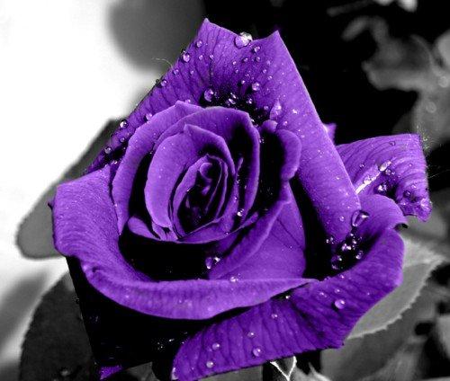 a purple rose just