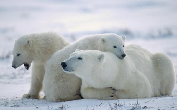 Polar Bear Hd Wallpaper Background 1920x1200 Id 324441 - Abyss