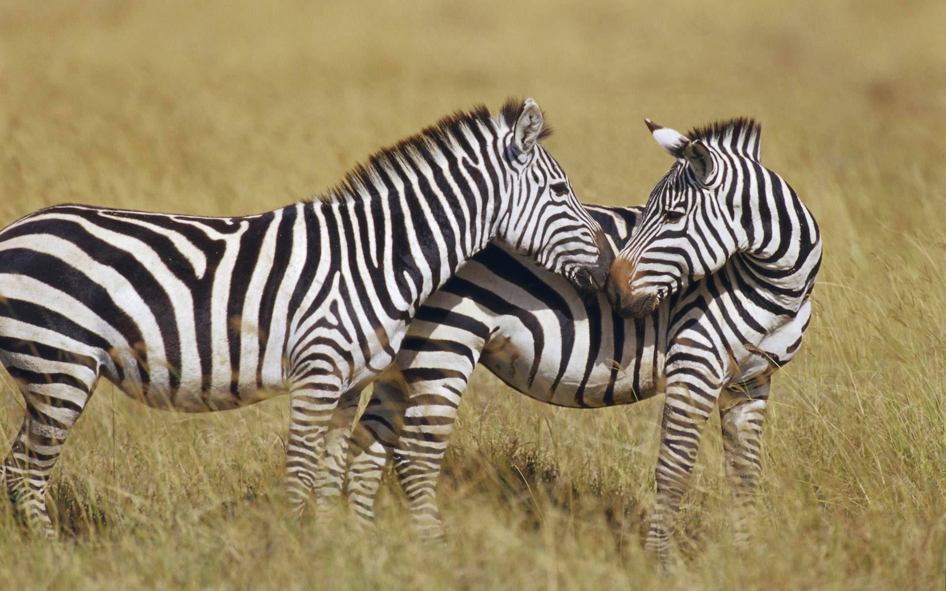 zebra full hd wallpaper and background | 1920x1200 | id:325863