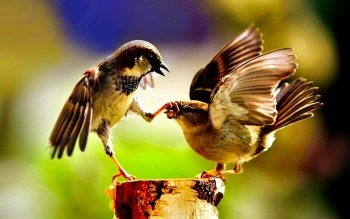 93 sparrow hd wallpapers