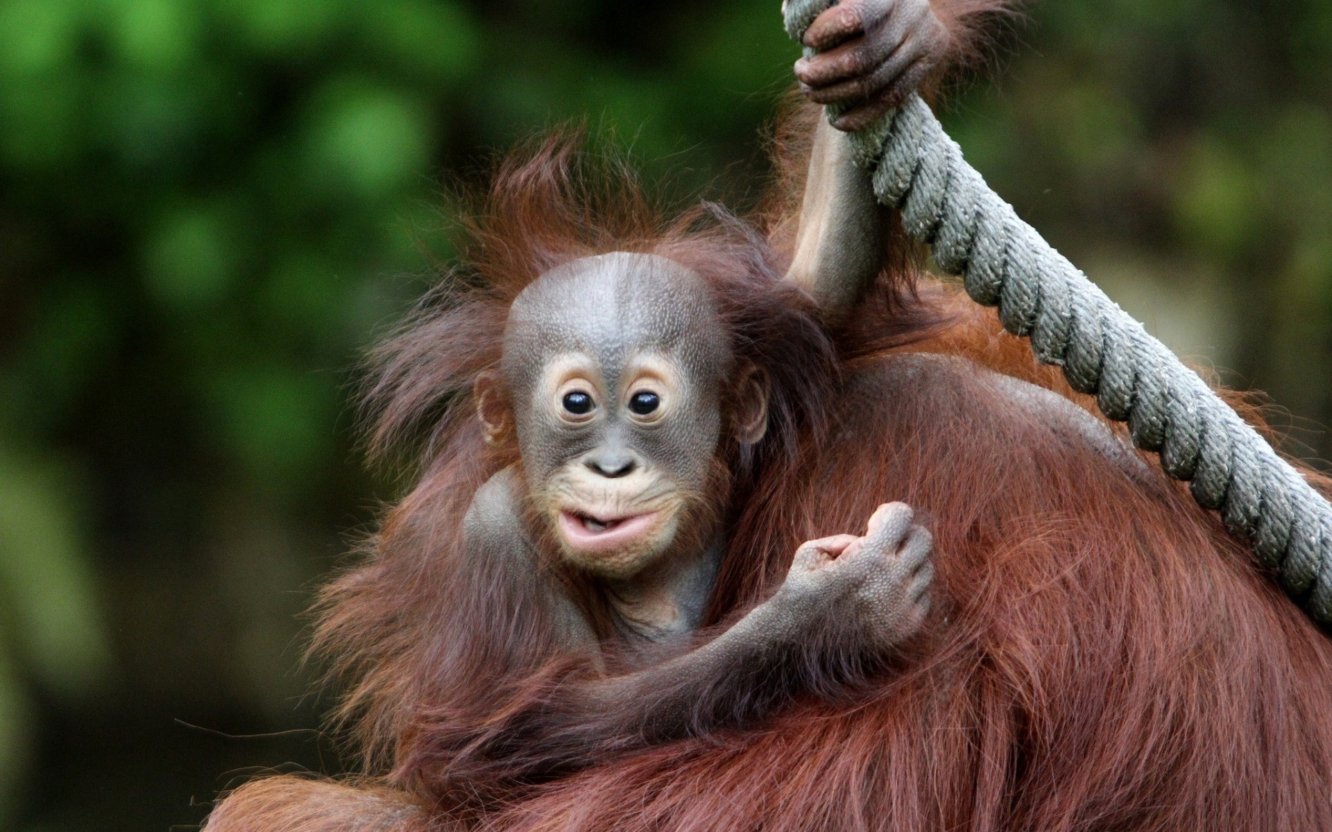 Cute Baby Monkeys Wallpaper Orangutan Hd Wallpaper Background Image 1920x1200 Id